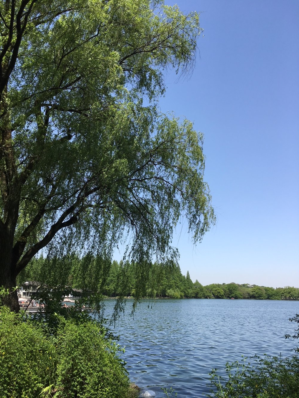 Willow tree in west lake