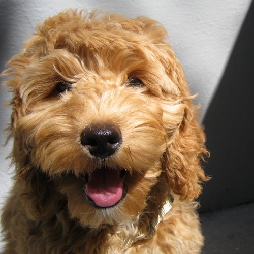 Best dog training for goldendoodles in nyc.