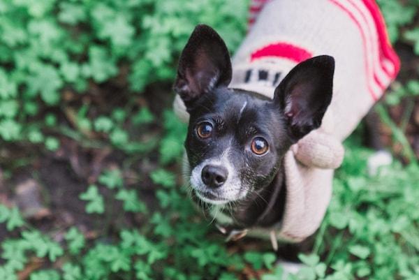 Rescue dog training and shelter dog training in sebastopol