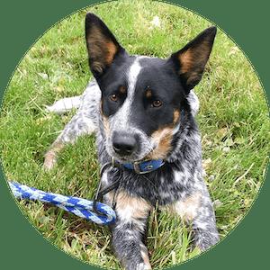 cattle dog herding dog basic obedience training in sebastapol