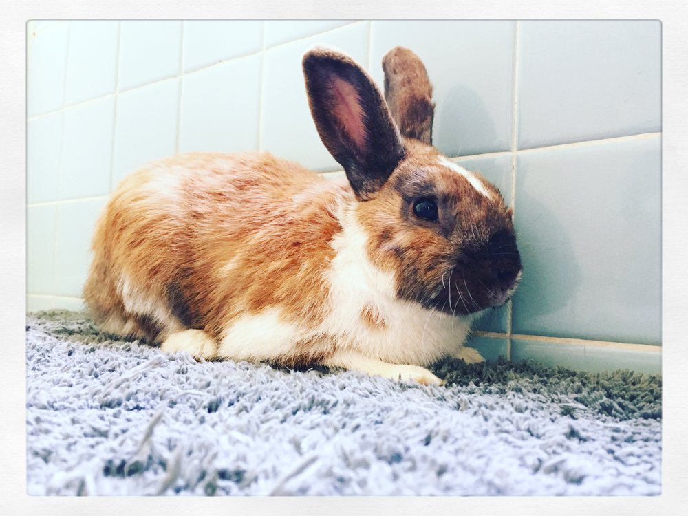 Lucky Joe - Lucky Joe was a domestic rabbit that was found loose on a local neighborhood street by our founder in December 2016. After catching him and bringing him in for treatment, it wasn't clear if he  would make it through the night. With  many open wounds and a large portion of his ear ripped and infected we were hopeful but worried. He showed us his fighting spirit and earned his name, Lucky Joe. After efforts to find his family were met with disappointment (we were told he was released on purpose) he became a permanent resident at the farm and was moved in with the chickens. His favourite hen was Betty Egg Whites and they could be found snuggling and sunbathing together on most days. Joe passed in our founders arms in January 2016.