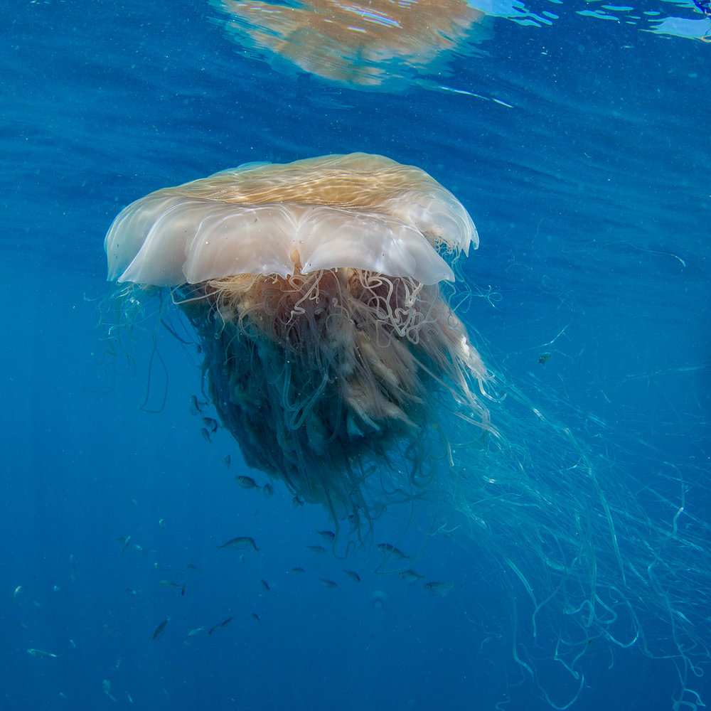 Above : Large lion's mane sea jellies are often found on the GBR.