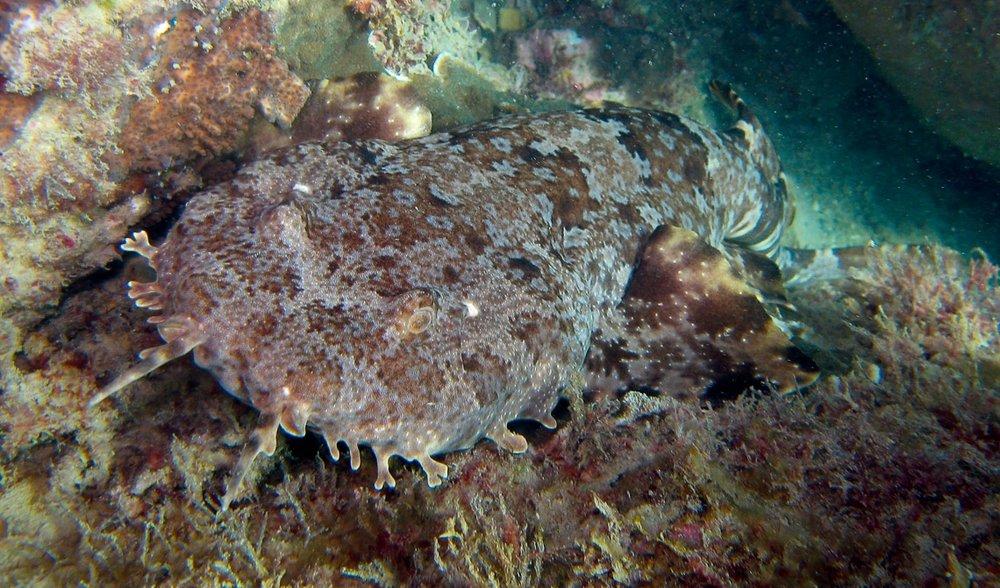 Above : Well camouflaged ornate wobbegong shark  Orectolobus ornatus  on a fringing reef near Mackay.