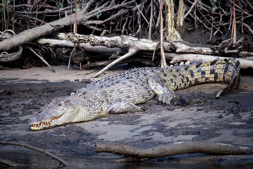 Big croc.JPG