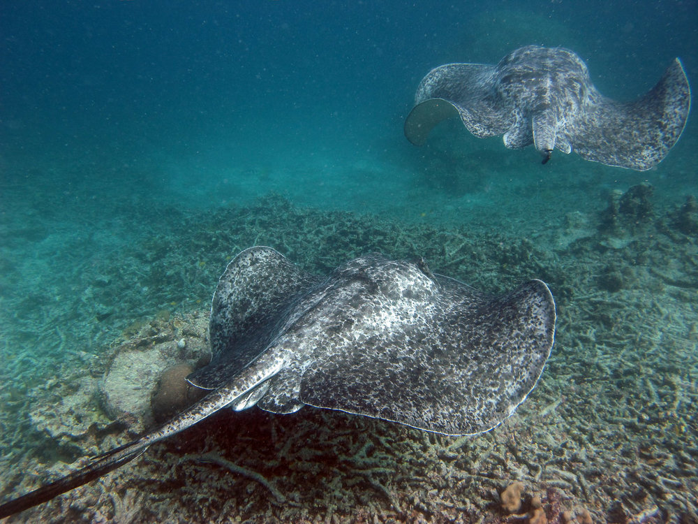 Blotched Fantail Rays