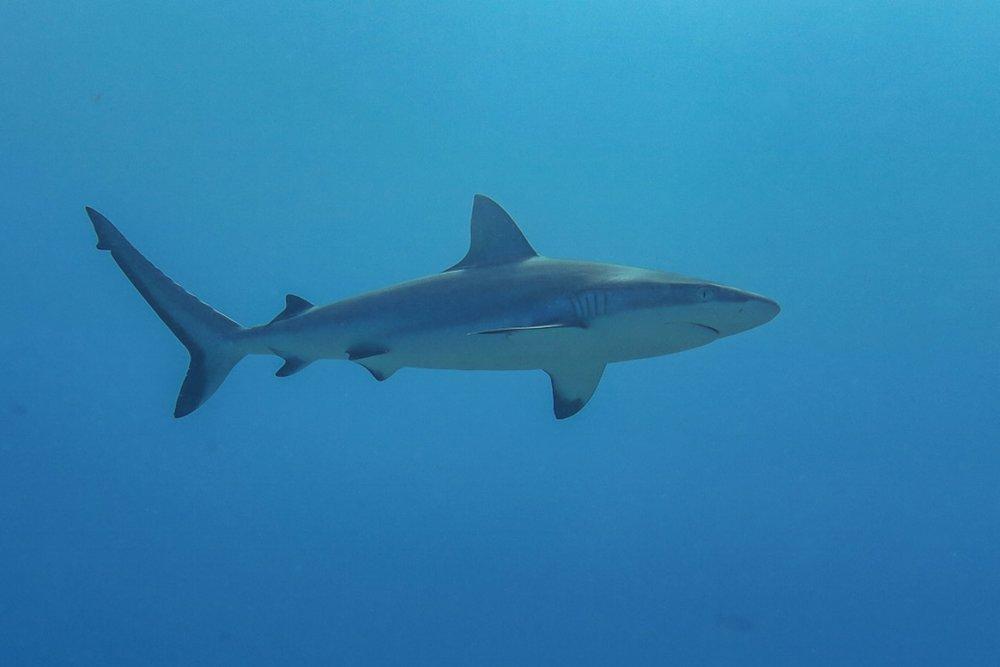 Grey Reef Shark.