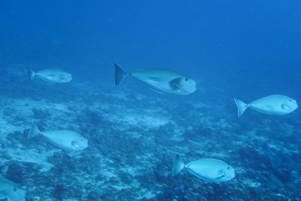 Squarenose Unicornfish