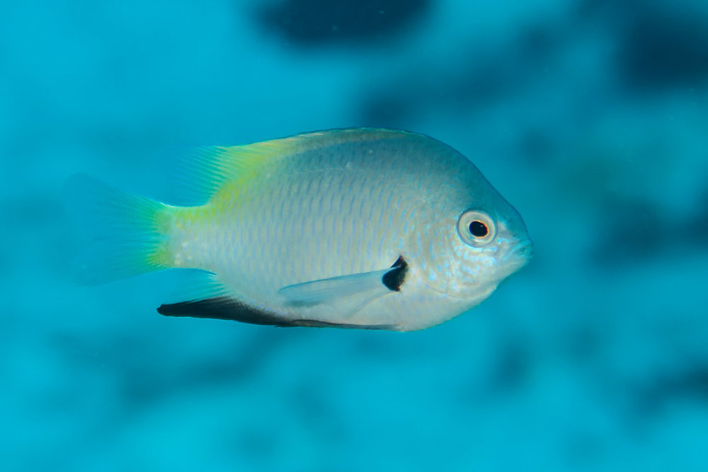 Goldback Damselfish