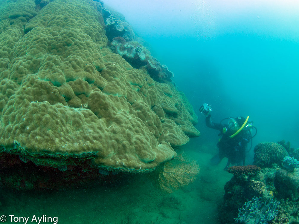 Avril photographs a huge  Porites  coral.