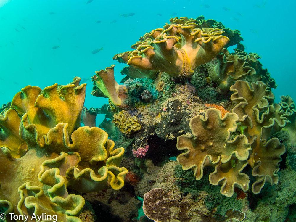 Sarcophyton  soft corals.