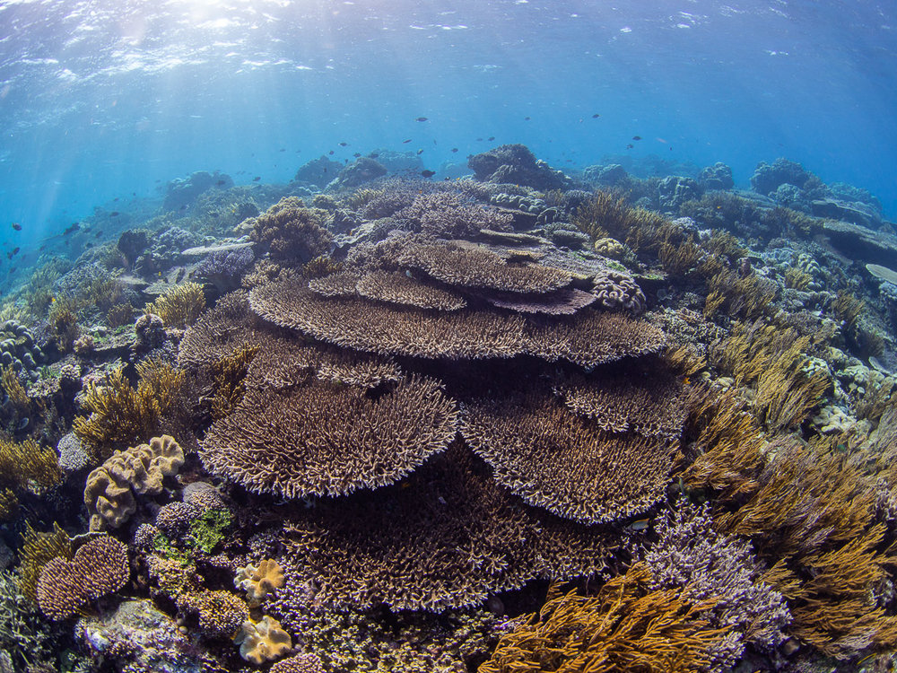 Rich coral cover on the shallow reef at Atauro Island