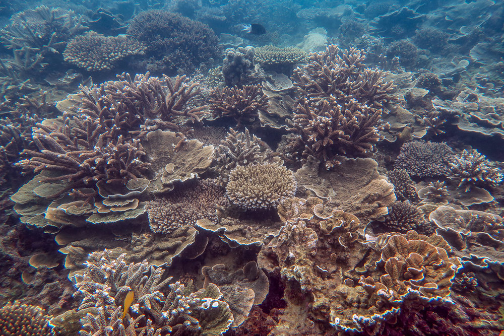 High coral cover on much of the reef