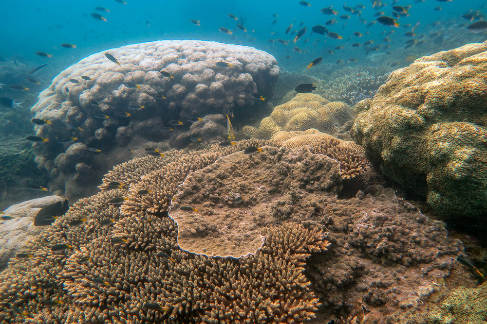 Two large  Galaxea  coral colonies with  Acropora  and  Montipora  in the foreground
