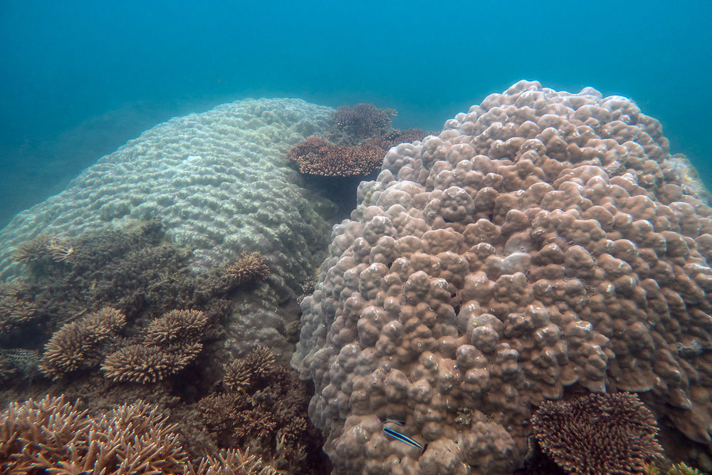 Two large  Porites  boulder corals
