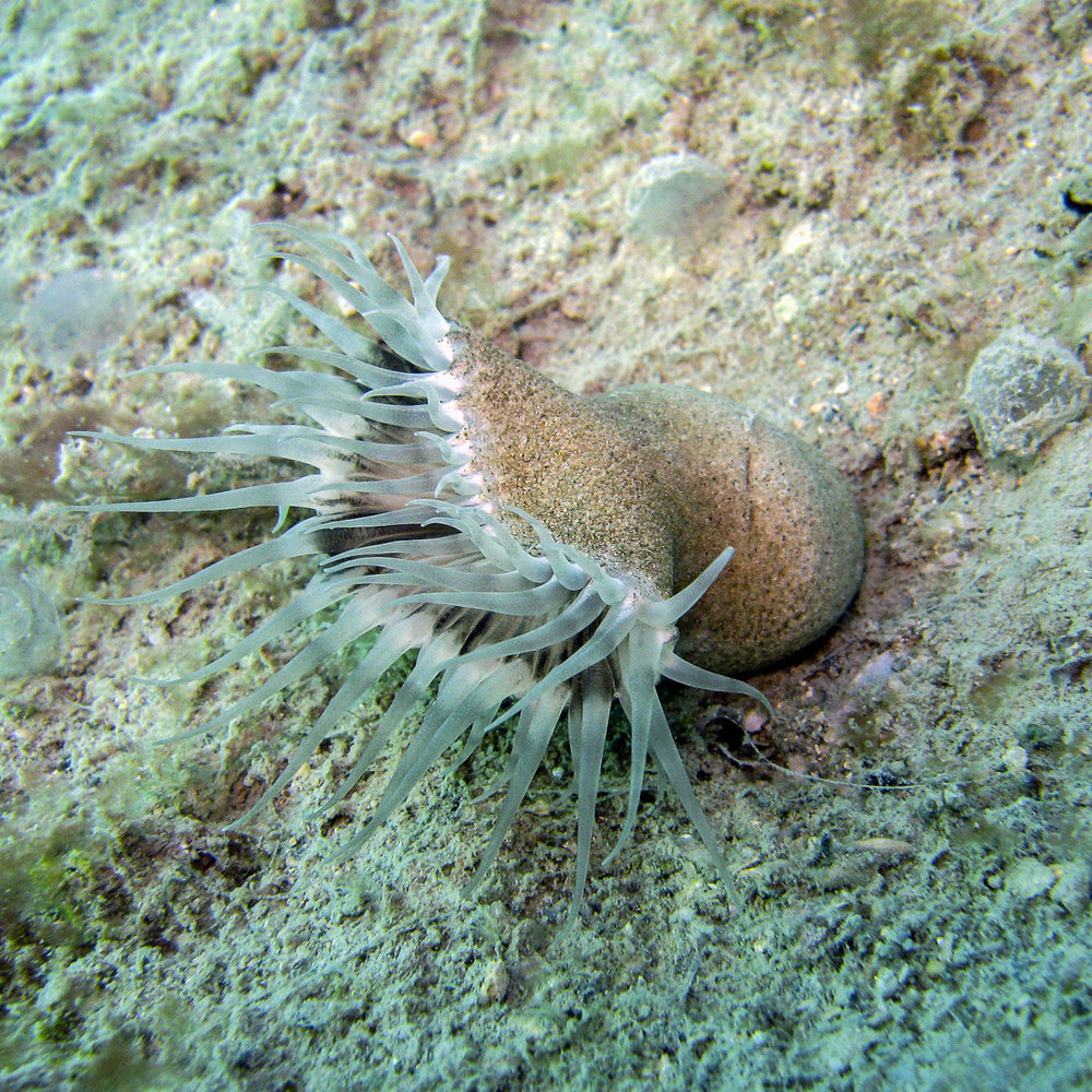 Free-living solitary zoanthid  Sphenopus  with tentacles expanded