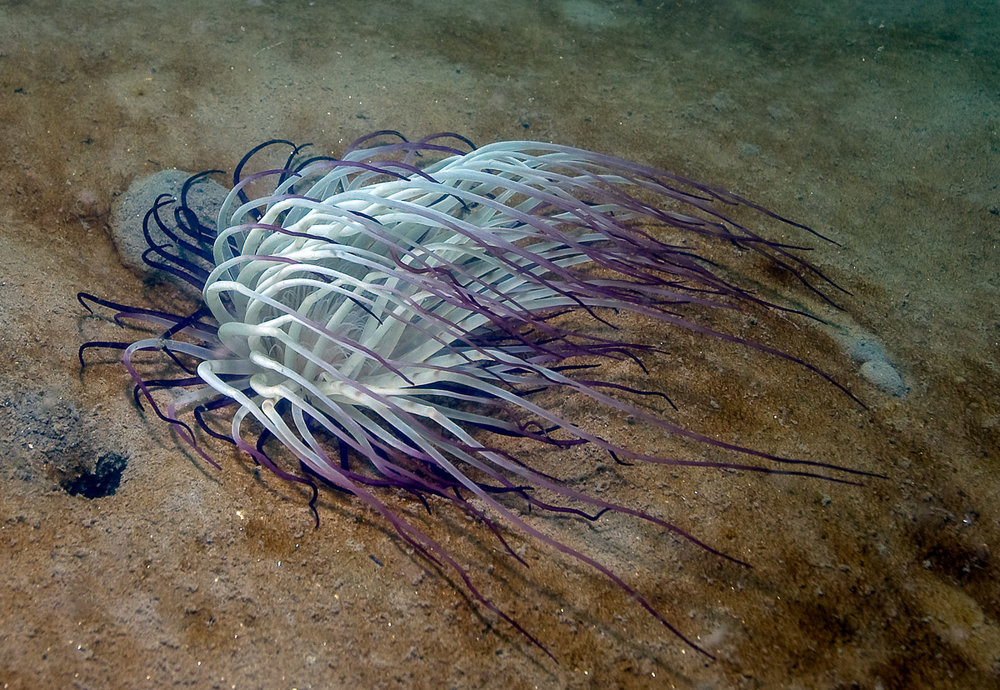 Tube dwelling anemone or cerianthid