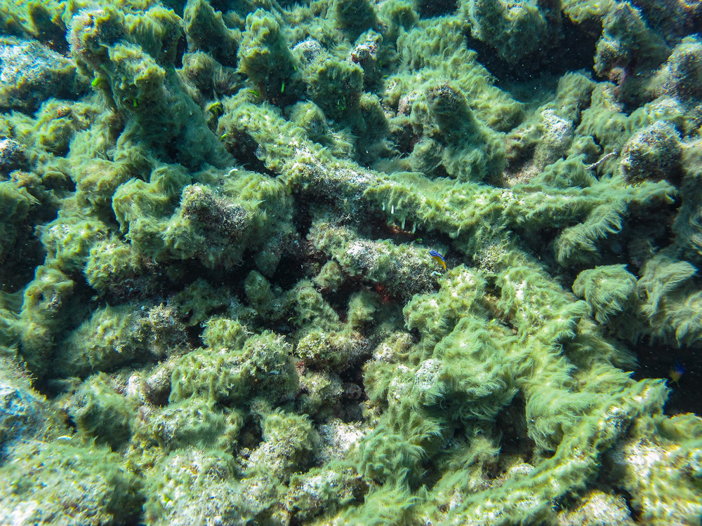 Blue-green algae growing on dead coral rubble