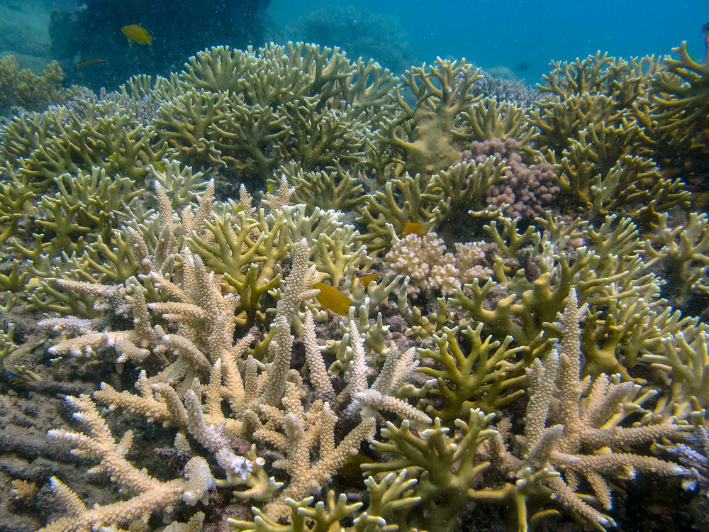 Staghorn  Acropora  and fire corals that have recovered since the cyclone