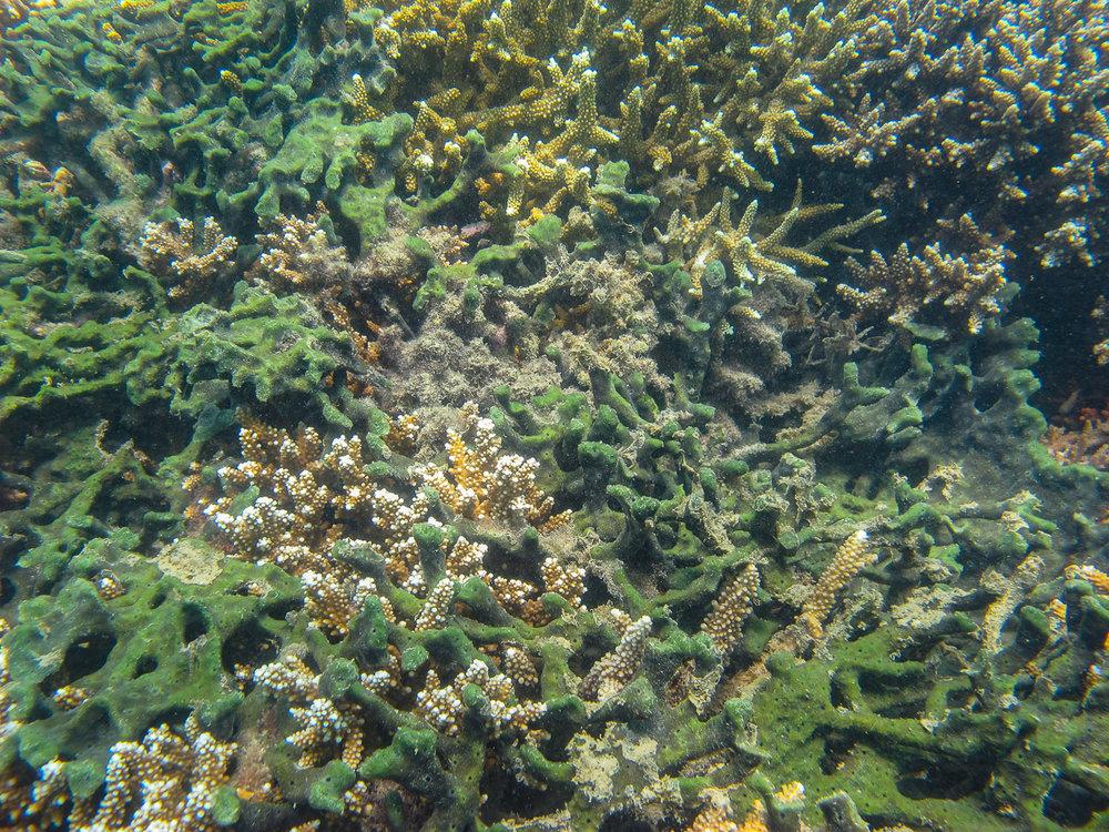 Siphonodictium  sponges growing amongst corals