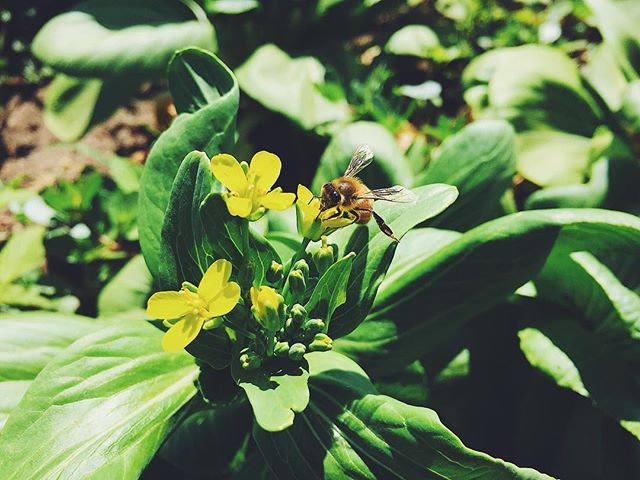 European honey bee drinking from a bok choi flower.
