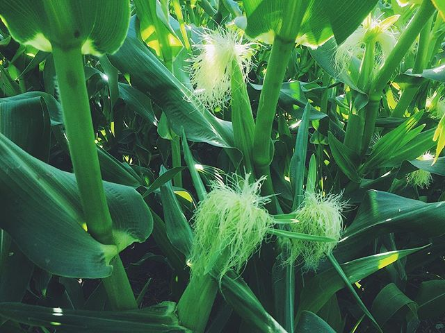 Corn silks - if we did our job right, each will catch pollen and turn into a delicious, sweet kernel!