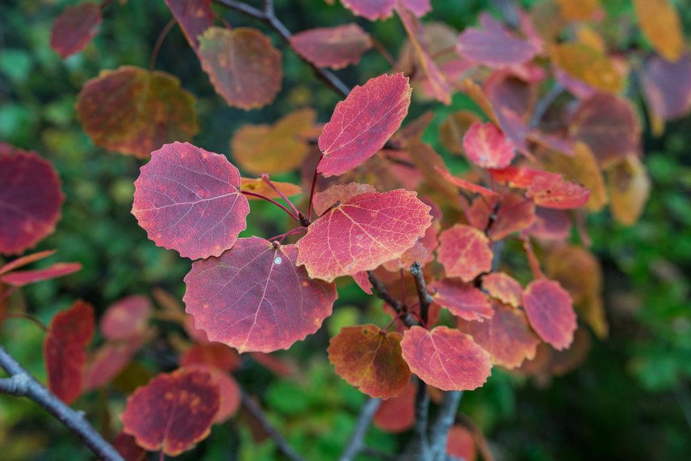 røde høstblader
