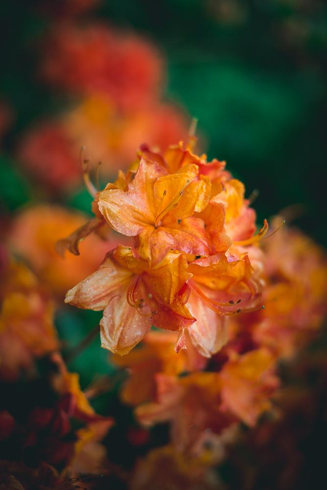 rhododendron-7322.jpg