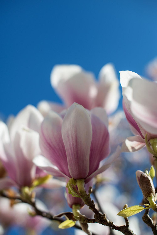 Magnolia blomstring (2).jpg