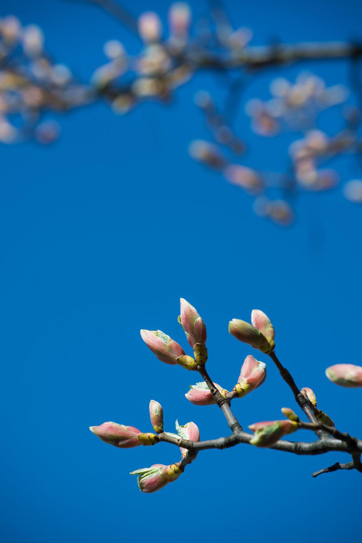 Magnolia (2).jpg