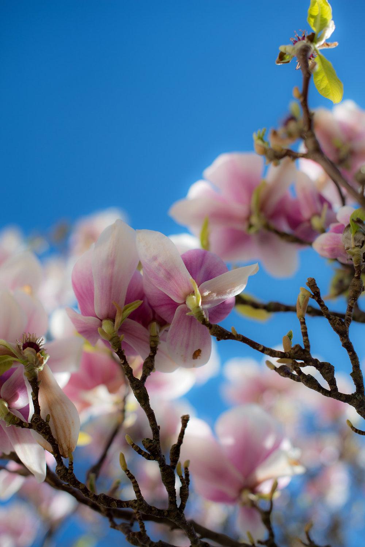 Magnolia blomstring (1).jpg