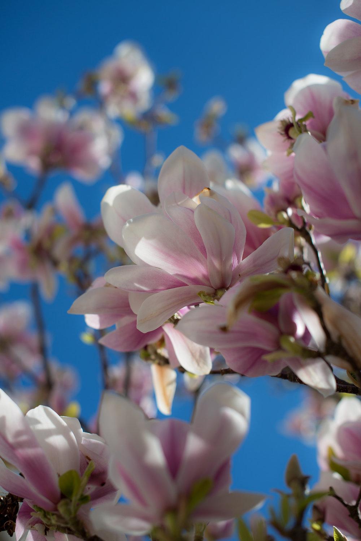 Magnolia blomstring (7).jpg