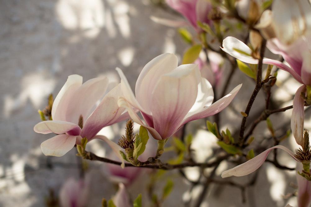 Magnolia blomstring (5).jpg