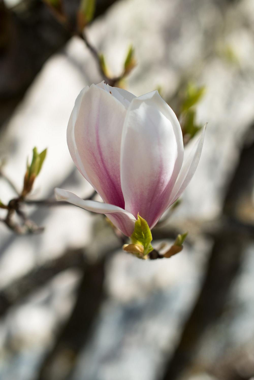 Magnolia blomstring (6).jpg