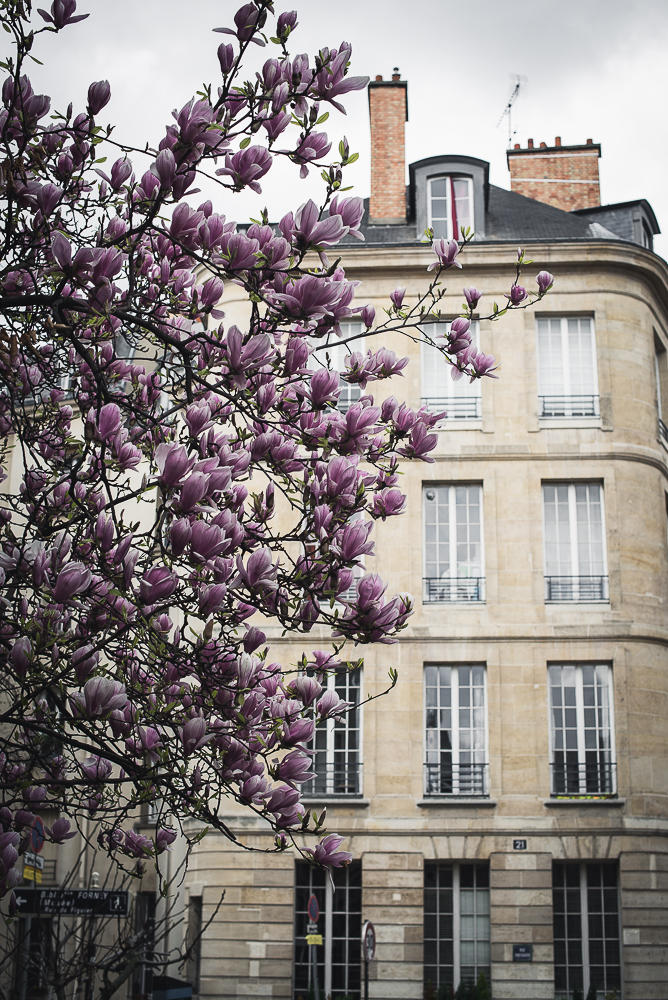 magnolia blossoms in paris in front of a house-1.jpg