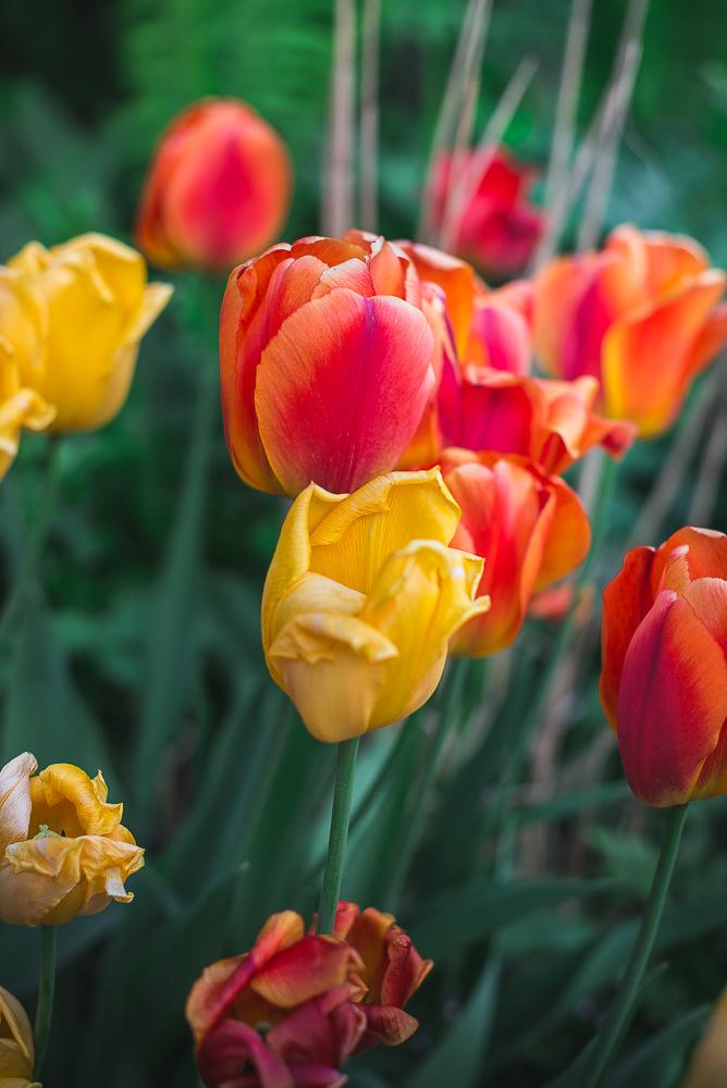 overmodne tulipaner-3.jpg