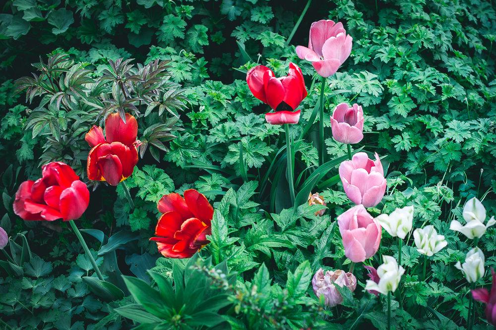 overmodne tulipaner-9.jpg