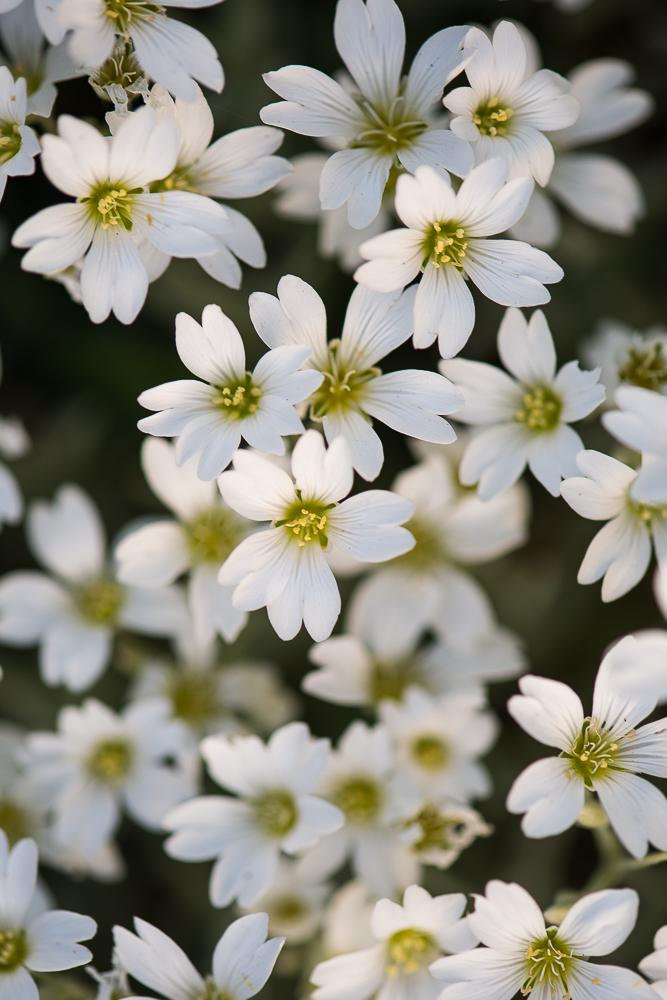 hvite blomster-2.jpg