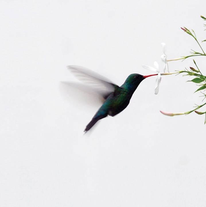 Hummingbird, Banfield's gardens