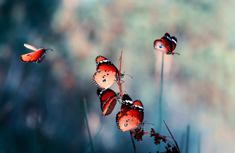 butterflies open their wings to fly.jpg