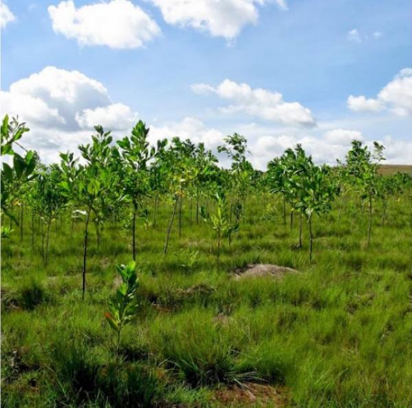"""Les arbres plantés grâce à Madagas""""Care."""