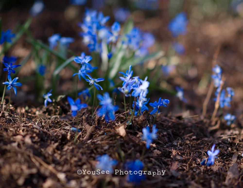 engagement_portrait_cherryblossoms_meadowlark_virginia_fredericksburgweddingphotographer_emily (1)