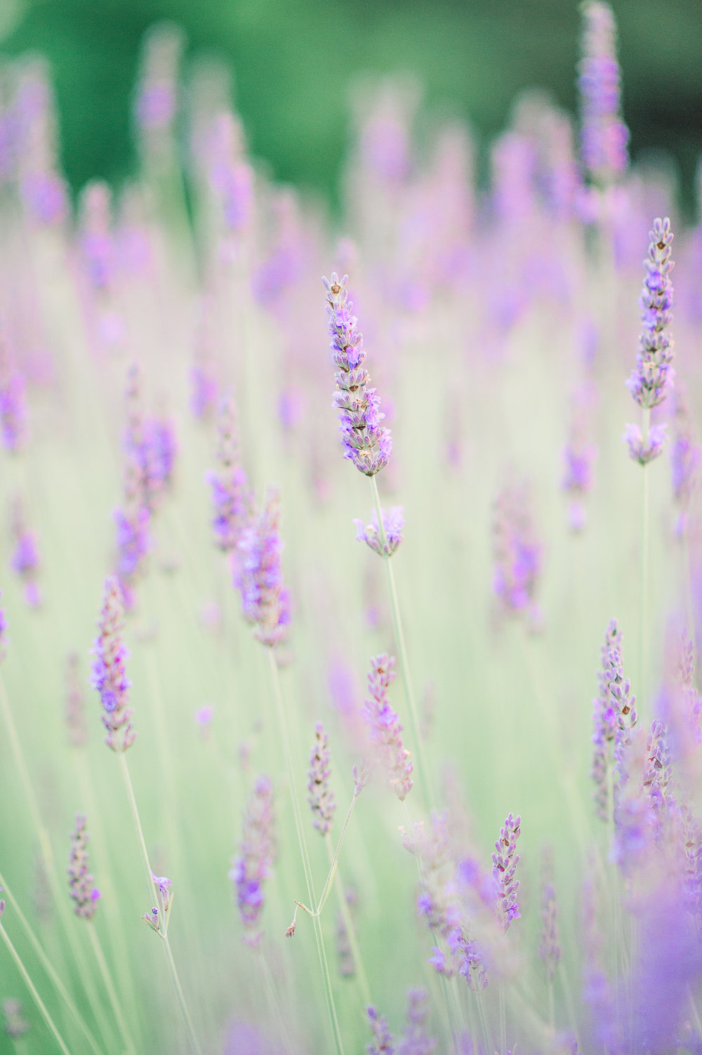 engagement_lavenderfield_youseephotography_LidiaOtto (28a).jpg