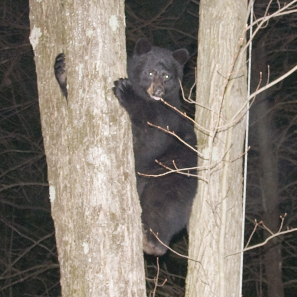 in which Bob chases a bear up a tree