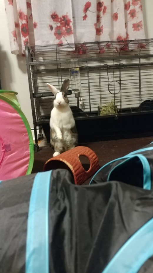 Rigby - was rescued three years ago. He was just a few months old and has brought so much joy to our lives. We wanted our older bunny Winston to have a friend, and we fell in love at first sight. This is the first pet of our own to pass away and it's been so much harder than we ever could have imagined. We'll miss him forever.