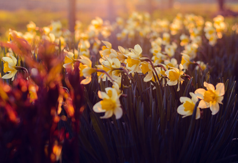 Daffodils in Sunset