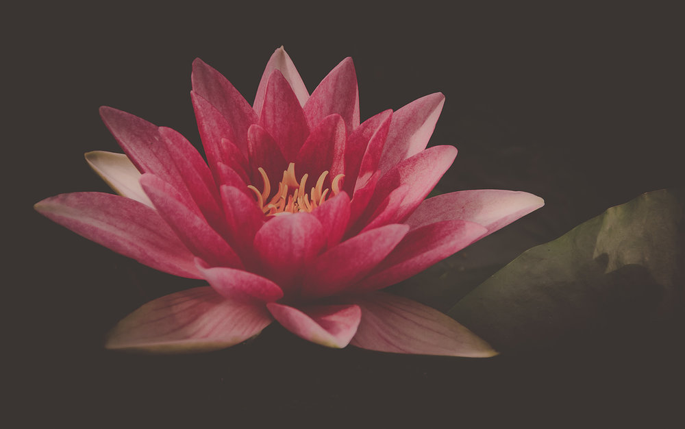 Beautiful Pink Water Lily Lotus Flower