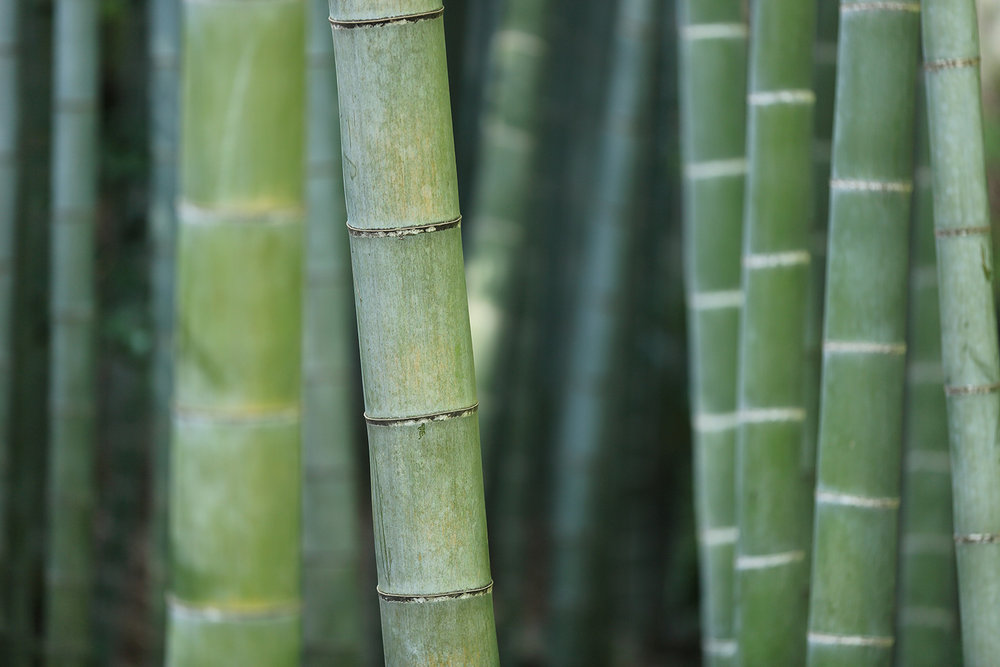 Close up of Green Bamboo
