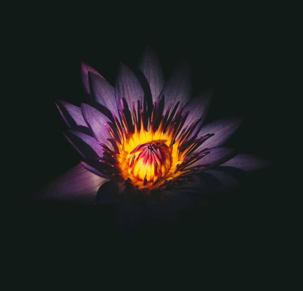 Purple Lotus with Flame coloured centre