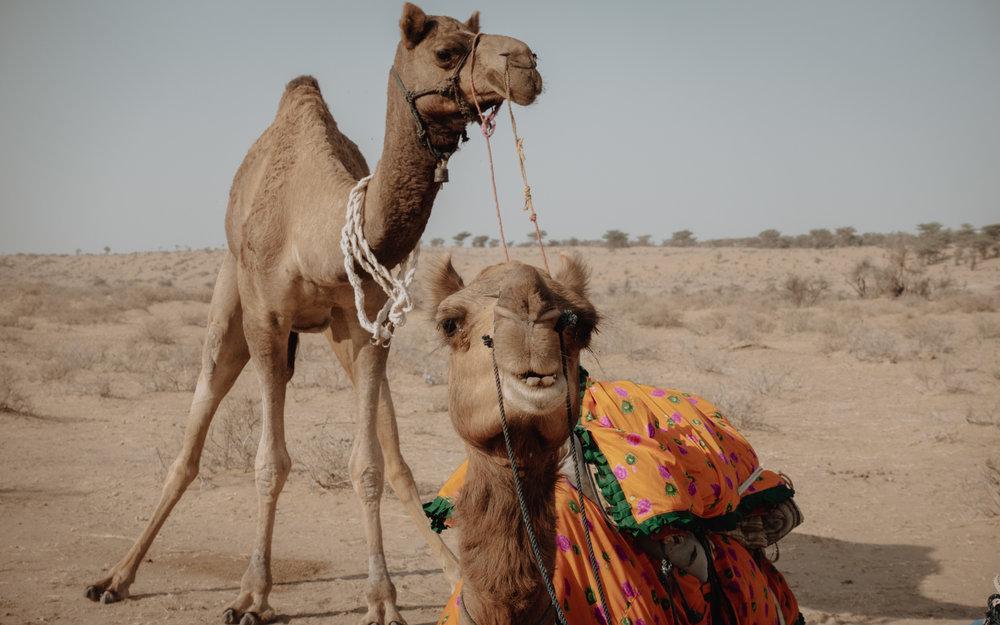 'Camels that flirt'