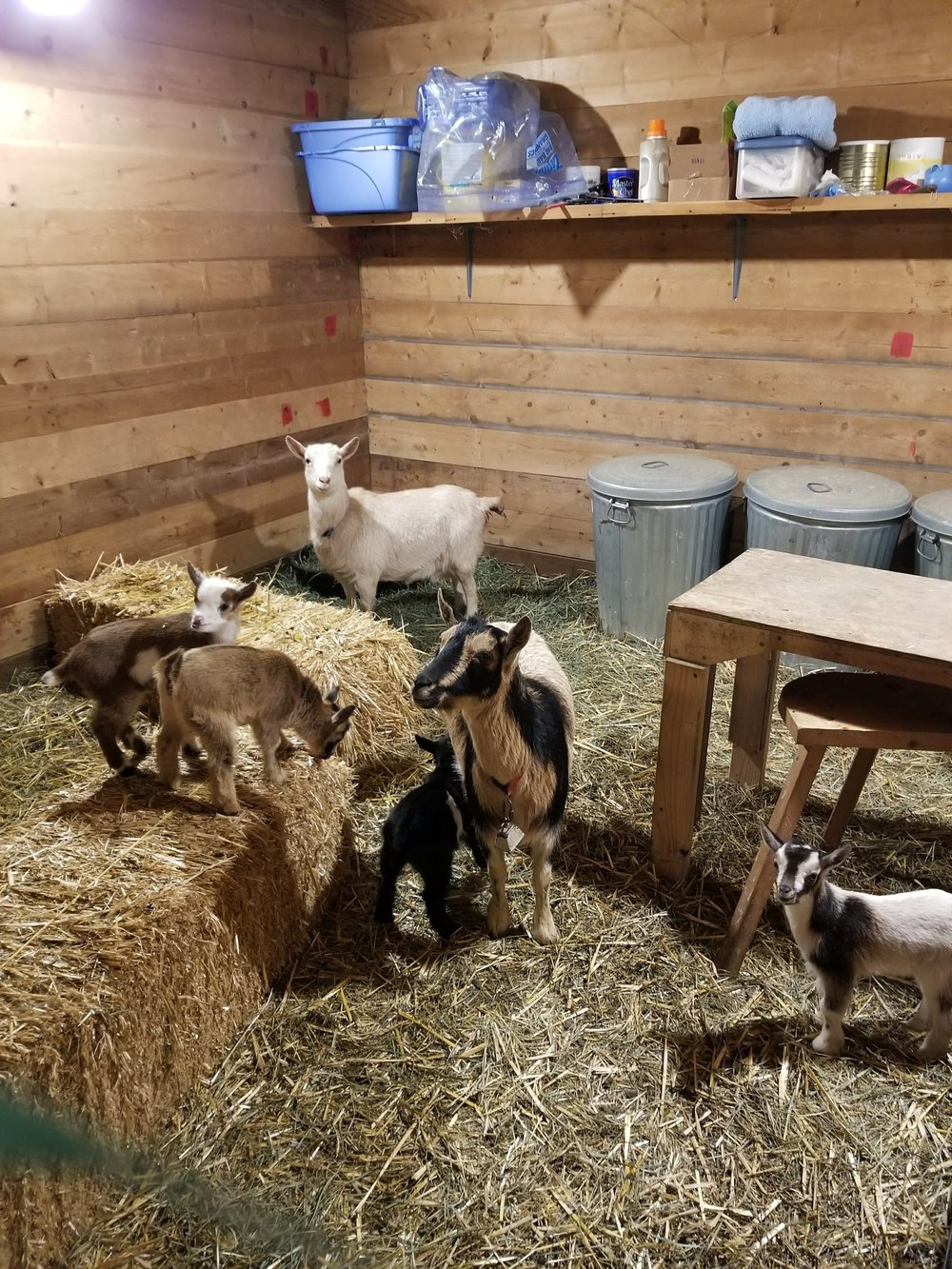 Nigerian Dwarf Goats! Kids are named Angel, Hedgehog, Phobos, and Deimos.